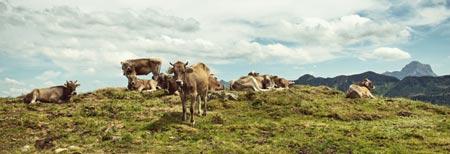 Kühe-Rinder